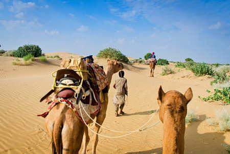 saddle camel: Camel caravan going through the sand dunes in desert, Rajasthan, India