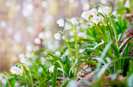 Leucojum aestivums flowers blooming in sunny day. NOTE: this photo has a very shallow depth of field