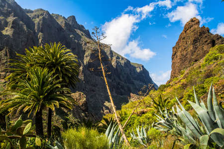 Masca valley.Canary island.Tenerife. Palms, cacti, flowering agave - a variety of flora of the Canary Islands Фото со стока