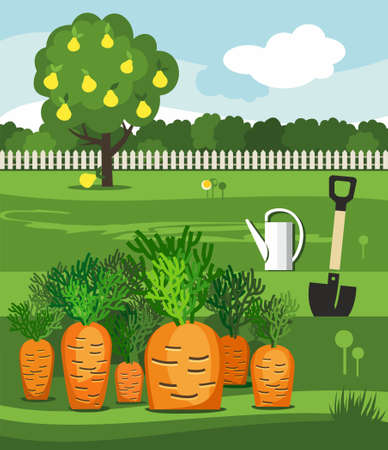 Carrots, vegetable garden, shovel and pear. Vector illustration with the image of a vegetable garden, rows of carrots, watering can, shovel and wood office.
