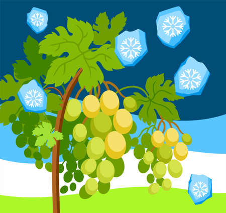 Hail in the vineyard, a natural phenomenon, color, vector image. Grape vine with bunches of ripe grapes falling chunks of ice. Natural disaster. Colored, flat picture.