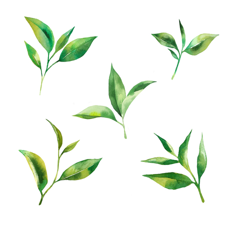 Tea leaves watercolor as design element. Green tea branch in hand drawn watercolor style. Tea background for paper, textile and wrapping