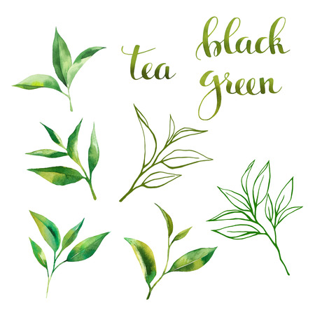 Food design set with tea leaves watercolor, line art sketch and lettering. Hand drawing watercolor style. On white background