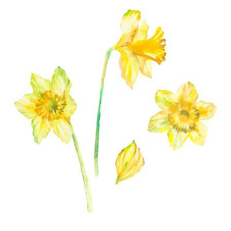 Drei Narzissen-Blumen-Aquarell als Gestaltungselemente. Isoliert auf weißem Hintergrund. Handgezeichnete Malerei