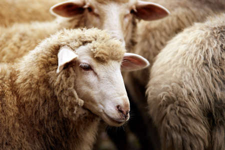 Sheep muzzle outdoors. Standing and staring breeding agriculture animal.