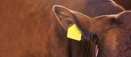 Agriculture animal sick. Cow portrait, beef meat. Milk kine. Ear tag and label.