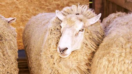 Sad kulunda breeding sheep. Muzzle sharing. Meat and fur farm production. Animal head. Closeup portrait staring.