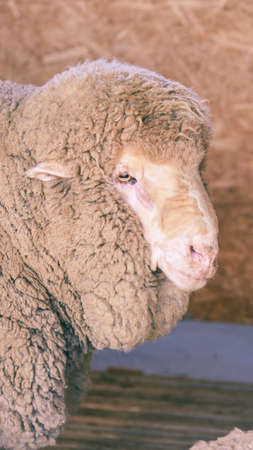 Sad kulunda breeding sheep. Muzzle sharing. Meat and fur farm production. Animal head. Closeup portrait staring.