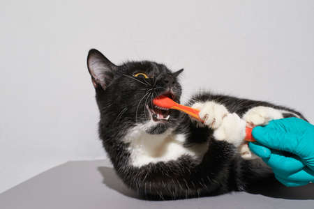 Black cat holding animal toothbrush. Orange color. People hand in glove. Grey background with copyspace. Pet clinic banner. Adv picture. Oral care Zdjęcie Seryjne