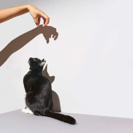 Black and white cat stand. hand frighten pet. Hard shadow at wall. Grey background, Animal clinic banner. Pretty funny kitten Stock Photo