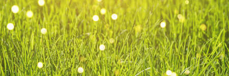 Green grass backyard. Outside nature beauty. Spring bright background. Grow fress cat food. Sprout meadow. Eco lifestyle wallpaper. Health harmony. Place for text. Selective focus. Horizontal banner
