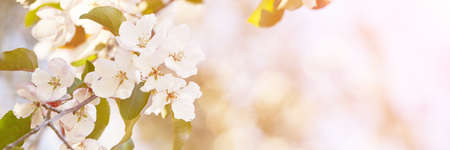 Apple tree floral. Bright summer background. Spring white fruit flowers. Spring texture. Creative trend composition. Springtime elements. Selective focus. Horizontal banner. Copyspace Zdjęcie Seryjne