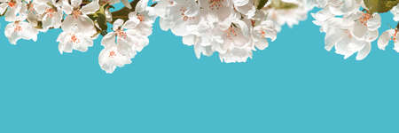 Apple tree floral. Bright summer background. Spring white fruit flower. Spring texture. Creative trend composition. Springtime elements. Blue sky. Horizontal template banner. Copyspace. Place for text Zdjęcie Seryjne
