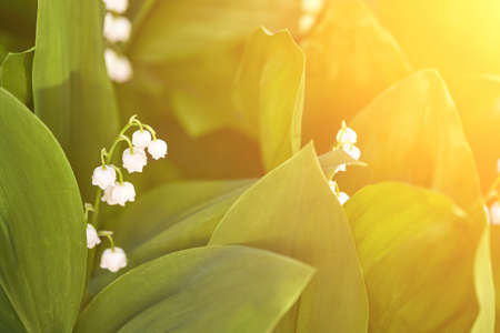 White convallaria flower with green leaves. Outdoors bouquet. Majalis beautiful wallpaper. Ecology season concept. Harmony aromatherapy. Meadow or park blossom. Sunlight Zdjęcie Seryjne