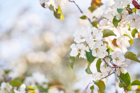 Apple tree floral. Bright summer background. Spring white fruit flowers. Spring texture. Creative trend composition. Springtime elements. Selective focus