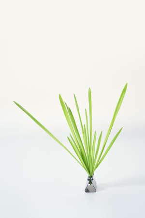 Green grass bush. Grey background. Fresh oat leaves. Foto de archivo - 152748550