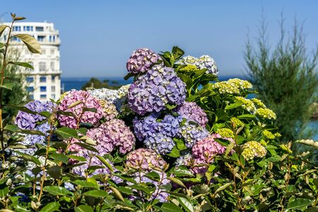 Blooming Hortensia flowers in Biarritz. Urban architecture, city skyscraper, downtown. Vacation, holiday. Scenic travel background. View scene.
