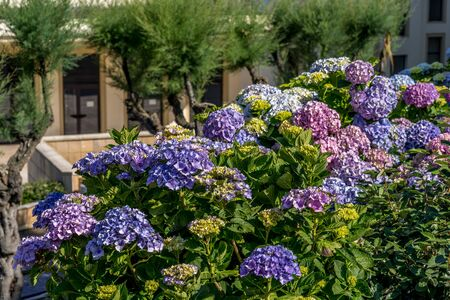 Flowering Hydrangea flowers in Biarritz. Urban architecture, city skyscraper, downtown. Vacation, holiday. Scenic travel background. View scene. Фото со стока
