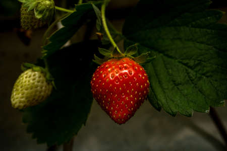 Soft focus background. Close up fresh organic strawberry. Strawberries being grown commercially. Macro