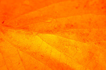 Orange color leaf texture background, detail of foliage from nature, autumn mood. Macro close-up