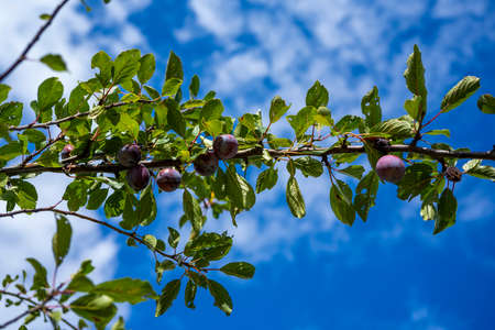 Ripe plums hanging from a tree branch ready to be harvested. View of fresh organic fruits with green leaves on plum tree branch in the fruit garden. Standard-Bild