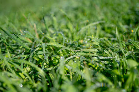 Morning green grass in the sun with dew drops. Soft Focus. Abstract Nature Background