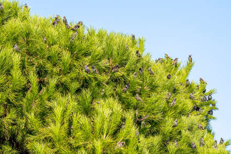 Many starlings are sitting on a pine tree in autumn. Close up