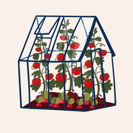 Greenhouse with Tomato and Radish. Local Vegetables in orangery. Eco harvest in glasshouse. Organic plant in pavilion in farm. Vector Illustration