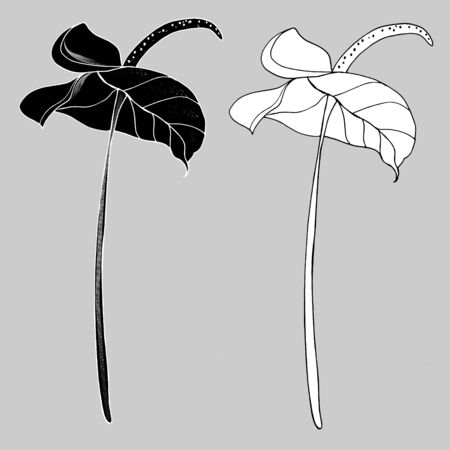 Calla Lily flowers, bud and leaves in black. Two tropical flowers isolated on a white background. Contour design elements with decorative calla lilies for summer design and coloring. 일러스트