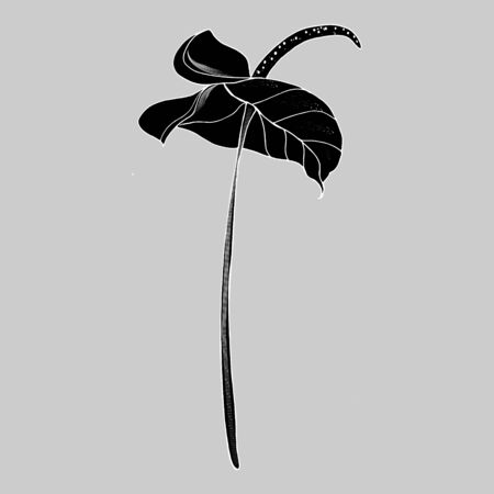 Calla lily flower, bud and leaves in black. Single tropical flower isolated on a white background. Floral design elements in contour style with ornate calla lilies for summer design and coloring book.