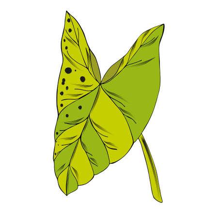 tropical leaf Nephthytis or Caladium Syngonium Podophyllum. Ilustrace