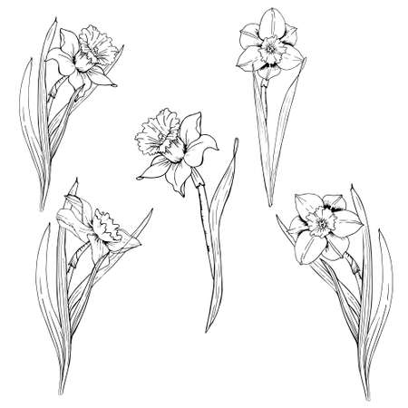 set with outline narcissus or daffodil flowers in black isolated on white background.