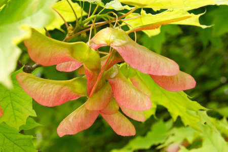 Close-up of colorful maple seeds on the tree