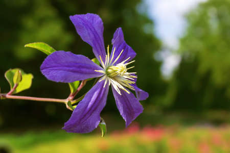clematis flower: Close up of bright blue Clematis Flower