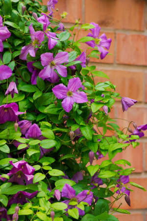 Purple flowers clematis hang down on the brick fence
