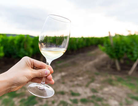 A woman holding a glass of white wine in front of grapevines in a vineyard. Chardonnay. Green grape vine trees growing in vineyard. Beautiful landscape. Autumn in the garden is harvest time