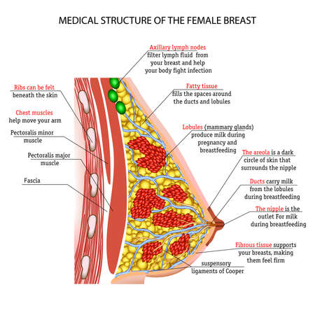 The anatomy of the female breast Stok Fotoğraf - 47868519