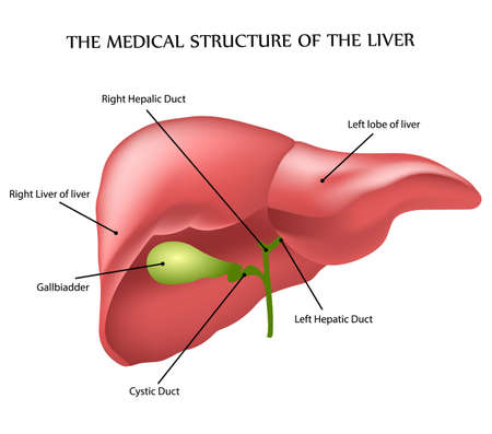 human liver: medical structure of the liver, illustration