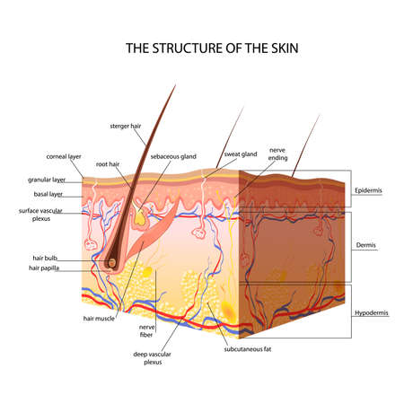 skin structure: The anatomical structure of the skin vector