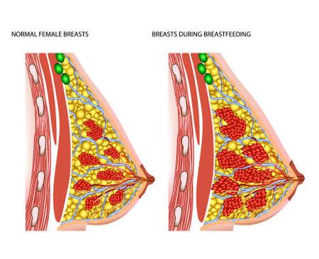 amamantando: La anatomía de la mama de la mujer en periodo de lactancia Vectores