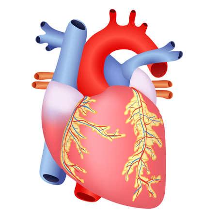 심장의 의료 구조 일러스트