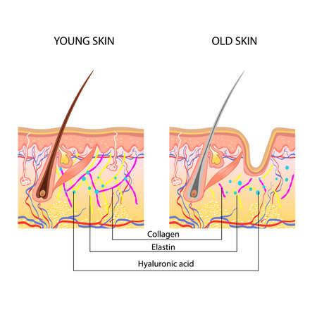 La estructura anatómica de la piel, jóvenes y viejos