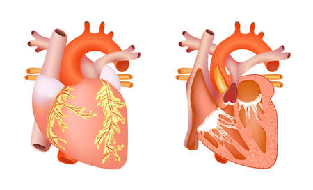 medical structure of the heart