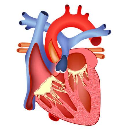 dessin coeur: la structure m�dicale du c?ur