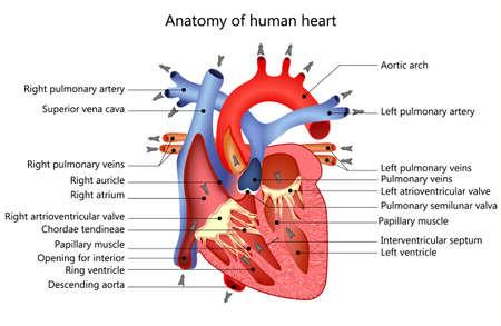 anatomia: estructura médica del corazón