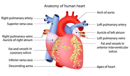 muscle anatomy: medical structure of the heart