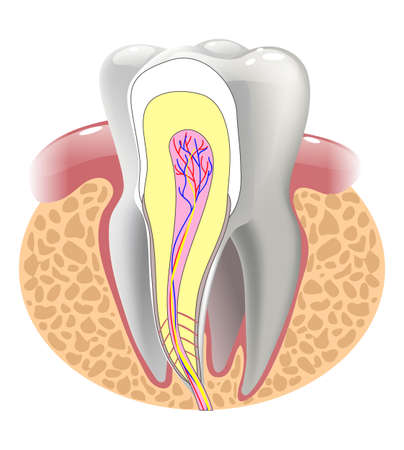 root canal: medical structure of the tooth, illustration