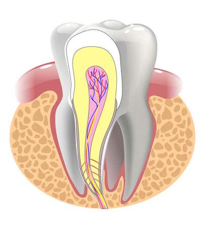 medische structuur van de tand, illustratie Stock Illustratie
