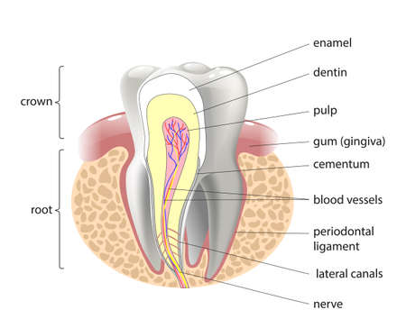 dentin: medical structure of the tooth, illustration