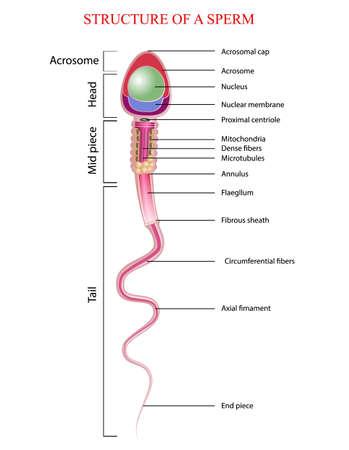 structure of spermatozoon Ilustracja